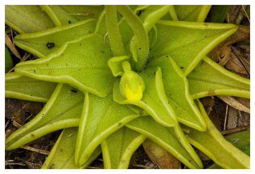 tumbuhan karnivora